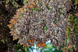 Monarch butterflies, Mexico tour